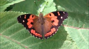 DLNR & You - Kamehameha Butterfly