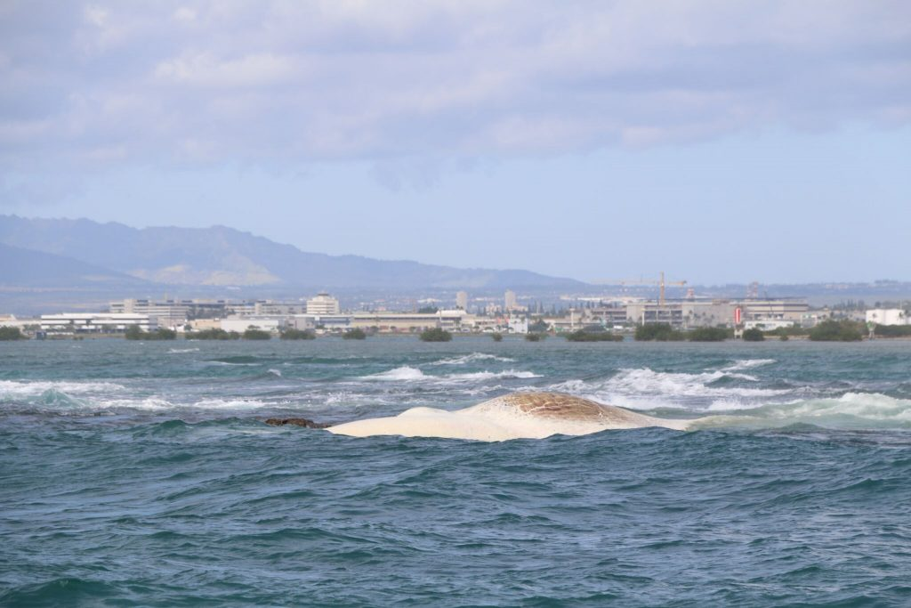 WHALE CARCASS MOVES CLOSER TO SHORE